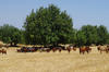 Traditionnal carob agroecosystem with goats on pasture© AMU, A. Baumel